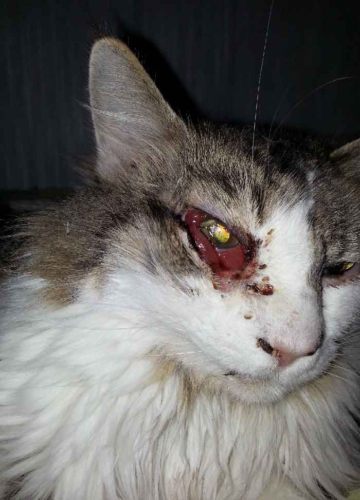 The patient's cat succumbed to an infection which began in the right eye and eventually led to necrosis of the right face. Here the cat is shown in the first few days of this infection. The right eye appears injected with conjunctival chemosis and discharge.